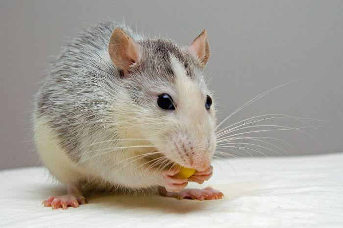 Carbon 60 in olive oil doubles lifespan of laboratory rats