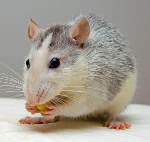 Rats Live Longer with Carbon 60